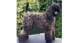 Kerry Blue Terrier. Glenfitor Niamh.