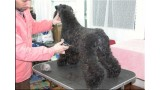 Kerry Blue Terrier. Ch. Bahia De Futuro Box at La Cadiera.