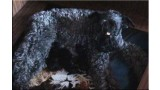 Kerry Blue Terrier. Camada 2W.