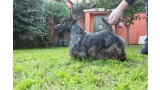 Scottish Terrier.  Ch. Lady Pandora De Treysas.