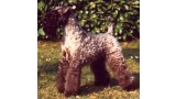 Kerry Blue Terrier. Multi Ch. Louisburgh Tur Ceatha