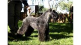 Kerry Blue Terrier. Multi Ch. Lolita de La Cadiera at Bluemont