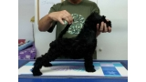 Kerry Blue Terrier. La Cadiera Imperator. 2 months old.