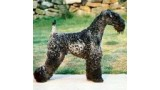 Kerry Blue Terrier. Louisburgh Giro at Rismont