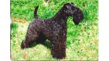 Kerry Blue Terrier. Ch. Arigna Oskar at La Cadiera.