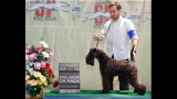 Kerry Blue Terrier. Ch. La Cadiera Diamonds Are Forever. Exc. 1ra-CAC-CACIB y BOB.