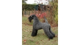 Ch. Dandy Black & Blue Rokoko. Kerry Blue Terrier.  Ch. Dandy Black   Blue Rokoko.