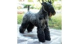 Kerry Blue Terrier. Nostraw Bo Didley.