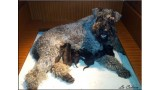 Kerry Blue Terrier. Camada 3G.