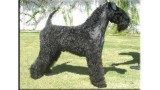 Kerry Blue Terrier. Braudag Champion Truman.