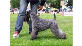 Kerry Blue Terrier. Multi Ch. Reina de Saba de La Cadiera at Bluemont