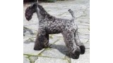 Kerry Blue Terrier. Louisburgh Irish Nina