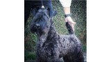 Kerry Blue Terrier. Ch. La Cadiera Diamonds Are Forever.