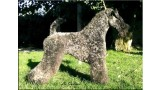 Kerry Blue Terrier. Multi Ch. Dinnyesvarosi Motorhead at La Cadiera
