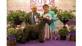 Kerry Blue Terrier. Multi Ch. Bluemont Ariel at Clanciarrai.