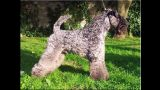 Kerry Blue Terrier. Ch. Watson de La Cadiera. Junior Champion y Ch..