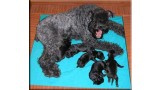 Kerry Blue Terrier. Camada 2J.
