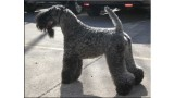 Kerry Blue Terrier. Multi Ch. Kerrydom Court Jack Sparrow La Cadiera