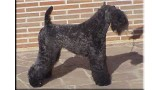 Kerry Blue Terrier. Ch. Tologano de La Cadiera at Rojac.