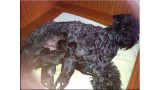 Kerry Blue Terrier. Camada 3A.