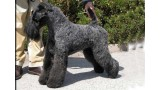 Kerry Blue Terrier. Ch. Arigna Anu at La Cadiera