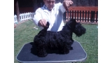 Scottish Terrier. Eversouth As Good As It Is.