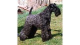 Kerry Blue Terrier. Aran Bailebrigin.