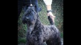 Kerry Blue Terrier. Ch. La Cadiera Diamonds Are Forever. Exc. 1ra-CAC-CACIB y BOS.