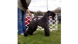 Kerry Blue Terrier. Ch. Kerrydom Court Hardy.
