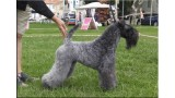 Kerry Blue Terrier. Ch. Quick Silver de La Cadiera at Liott.