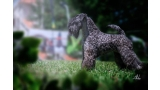 Kerry Blue Terrier. Camada 3i.