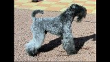 Kerry Blue Terrier. Ch. Simply the Best de La Cadiera. Exc. 1ra - C.A.C. - BOB.
