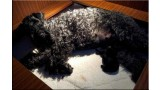 Kerry Blue Terrier. Camada 3B.