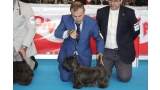 Scottish Terrier.  Ch. MISS MIAMI DE TREYSAS.