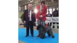 Kerry Blue Terrier. Corben Dallas de La Cadiera BOB