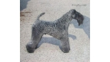 Kerry Blue Terrier. Ch. Kamaghan Mr Bombastic.