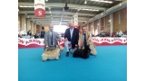 Scottish Terrier. Exc. 1º CAC CACIB BOB  BOG 3º.