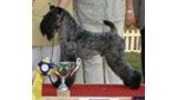 Kerry Blue Terrier. Multi Ch. Dinnyesvarosi Bad Boy