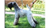 Kerry Blue Terrier. Simply Irresistible de La Cadiera at Liott.