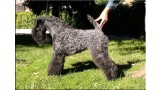 Kerry Blue Terrier. Multi Ch. Nenufar Urdina de La Cadiera