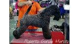 Kerry Blue Terrier. Multi Ch. Bluemont Analivia Purabella at La Cadiera
