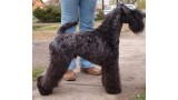 Kerry Blue Terrier. Dinnyesvarosi Chippendale.