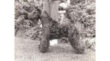Kerry Blue Terrier. Louisburgh Bahola