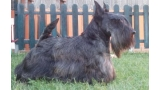 Scottish Terrier.  Ch. Dundee Boogie Woogie.