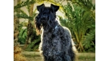 Kerry Blue Terrier.  Jr. Ch. Casiopea de La Cadiera. Casi Cas