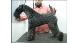 Kerry Blue Terrier. Ch. Amit De Futuro Box at La Cadiera.
