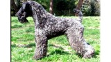 Kerry Blue Terrier. Ch. Fashion de La Cadiera.