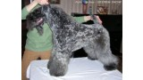 Kerry Blue Terrier. Eran Royal Hotrok Iz Kraya Malahita.