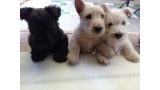 Scottish Terrier. Camada M.