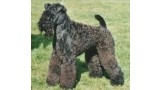Kerry Blue Terrier. Lescareiot Gorgious George.